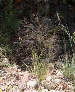 82 Best Grasses For Tucson Sunset Zone 12 Images On