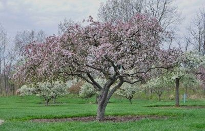 "Flowering Crabapple Trees: Learn How To Plant A Crabapple Tree - Growing crabapple trees in the landscape is commonplace for many homeowners, but if you haven't yet tried it, you may be asking, ""How do you grow crabapple trees?"" Read here to find out."