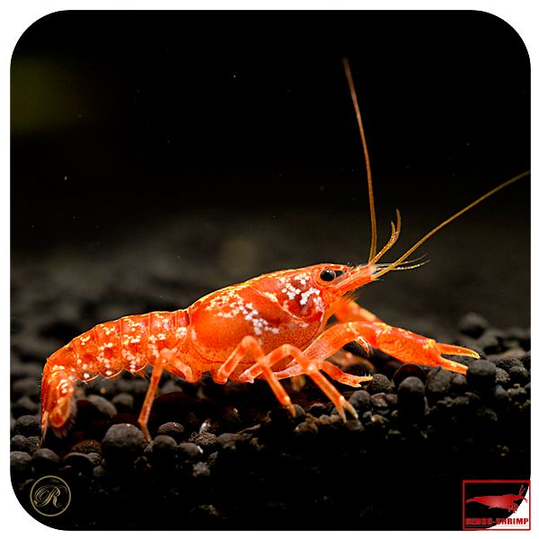 11 best snow white crayfish images on pinterest snow white lobsters and albino. Black Bedroom Furniture Sets. Home Design Ideas