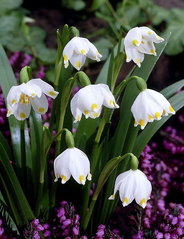 Kevätlumipisara - Viherpeukalot Oy - Puutarhamyymälä netissä