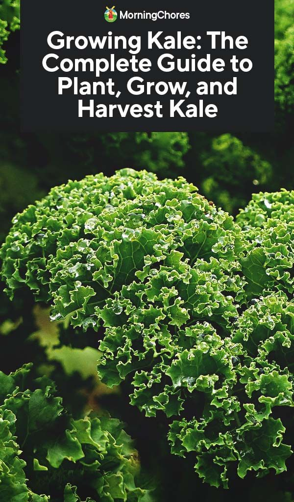Growing Kale The Complete Guide To Plant Grow And Harvest Kale