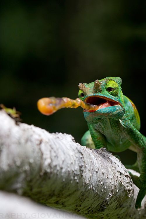 A chameleon's tongue is 1 and a half times the length of their body. That's like someone who is 6 ft. tall having a 9 ft. long tongue! Credit: Giovanni Mari Photography