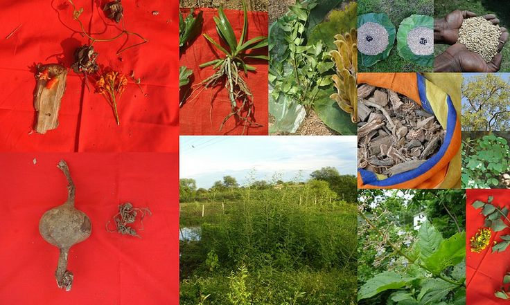 Medicinal Rice based Tribal Medicines for Diabetes Complications and Metabolic Disorders (TH Group-586) from Pankaj Oudhia's Medicinal Plant Database