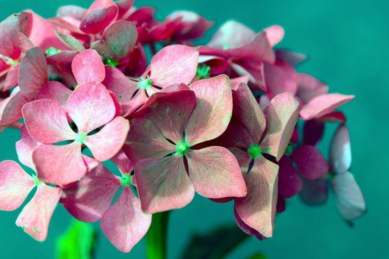 Nieuw in mijn Werk aan de Muur shop: Roze hortensia