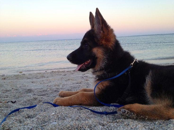A little munchie German shepherd pup on the beach watching the sun set.