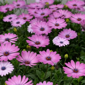 OSTEOSPERMUM ASTRA PINK - Stunning pink daisy flowers will smother this bush throughout most of the year. These low growing ground covers are heat and frost tolerant and bloom repeatedly. Once established the weeds will really struggle to push through and over run these. Prefers a full sun to part shade position and extremely low maintenance. Ideal for sunny borders and great for container planting. Supplied in a 50mm pot