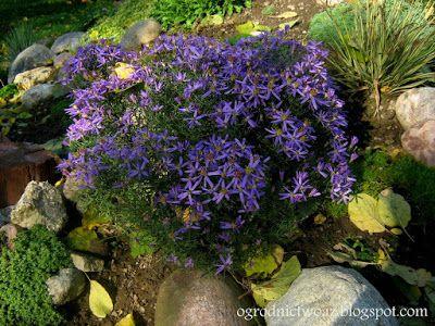 Ogrodnictwo od A do Z : Aster wąskolistny 'Nanus'- Aster sedifolius 'Nanus...