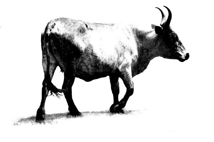 Big bugger - Nguni Canvas Prints