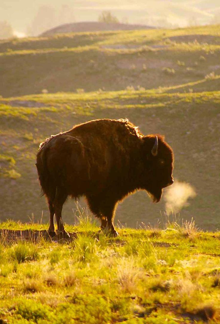 El bisonte americano (Bison bison) aunque parezca tosco y pesado, se mueve con cierta ligereza y puede cubrir grandes distancias manteniendo constante la velocidad. No camina con el andar indolente del buey doméstico, sino que lo hace más bien con pasos firmes; trota de prisa y con zancada larga, y cuando galopa es tan veloz que incluso un buen caballo no consigue adelantarlo. Es, además, un excelente nadador, demostrando en el agua la misma fuerza y resistencia.