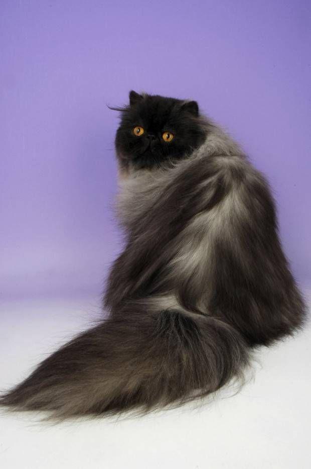 Persa   Tudo Sobre a Raça de Gato Persa