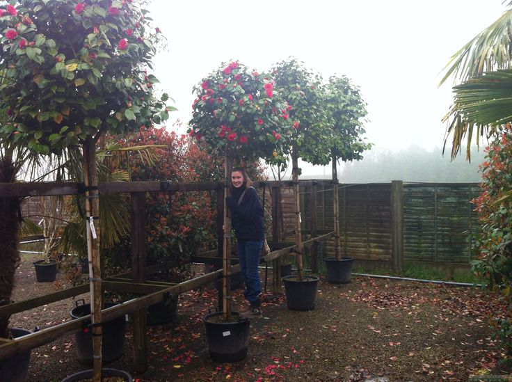 Camellia Japonica Kramers Supreme Full Standard 60 Litre Pot