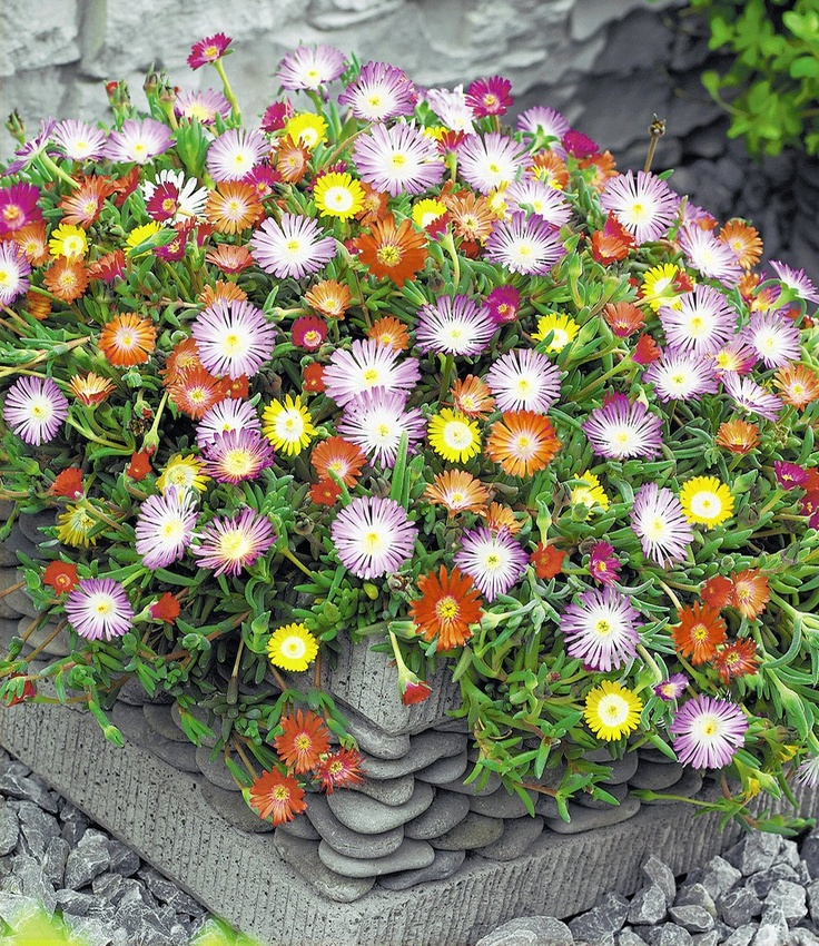 Winterharde ijsbloemen gemengd
