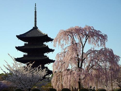 暁光の五重塔と枝垂れ桜 (To-ji in spring)