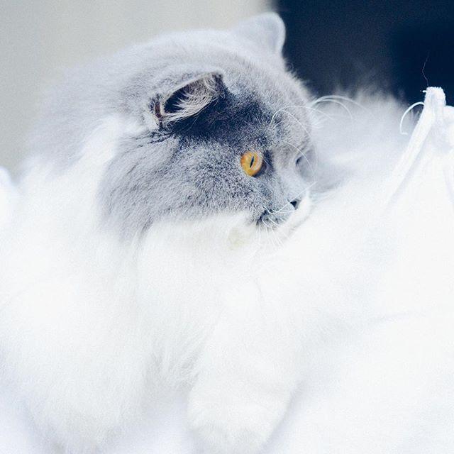 British Longhair bleu et blanc. Suivez mon instagram en cliquant sur l'image. Follow me on Instagram ! Vanessa Pouzet