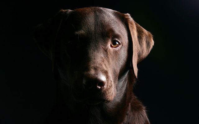 Cosa dovete sapere sul labrador marrone #labradormarrone