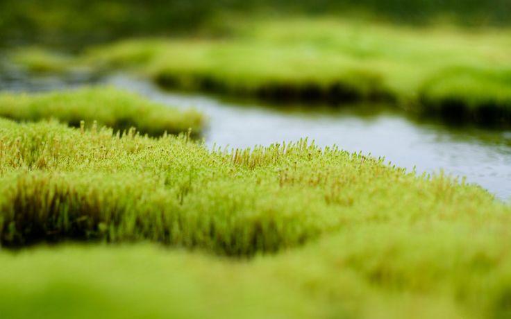 Polytrichum moss wallpapers From http://topwalls.net/polytrichum-moss/ (deset druhů, patří mezi nejdokonalejší a  nejznámější rody mechů)