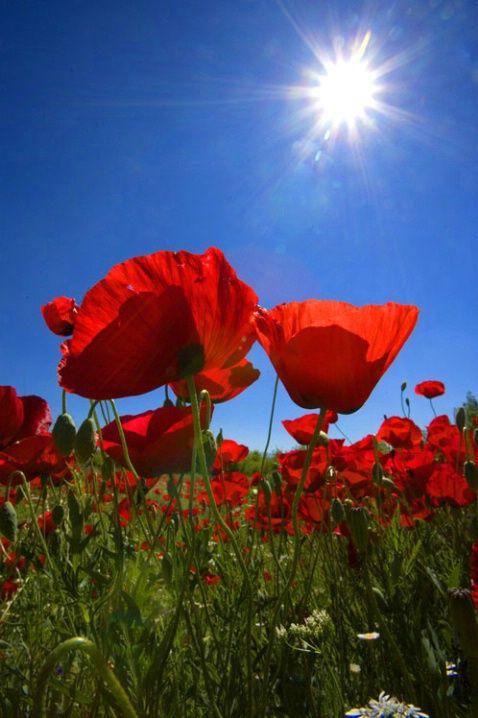 European poppy field, near Konya, Turkey