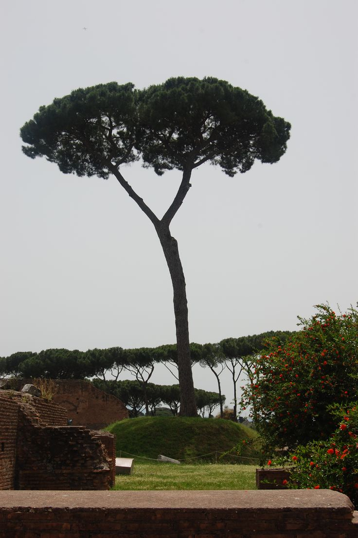 Umbrella trees..so Italian! Palatine Hill, Rome photo by ...