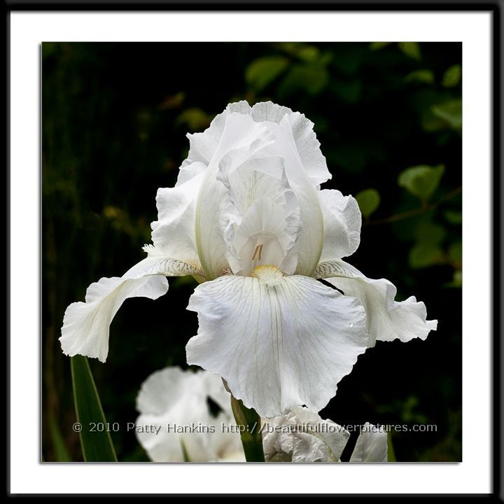 Immortality irises
