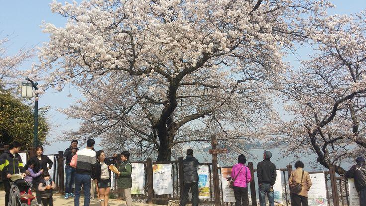 2015년 강릉 경포벚꽃잔치 강원현대시문학회 봄 시화전