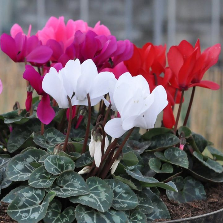 45 best indoor flowering plants images on pinterest for Small indoor flowering plants