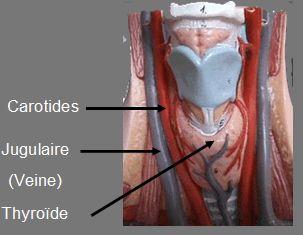 Anatomie circulation : Coronaires,Carotide,Aorte