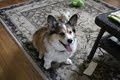 Teddy is an adoptable Corgi Dog in Centerburg, OH. Teddy is a Sable colored neutered male Pem who is about 7 years old. He was turned over to us by the Columbus area dog pound. He is being fostered in...
