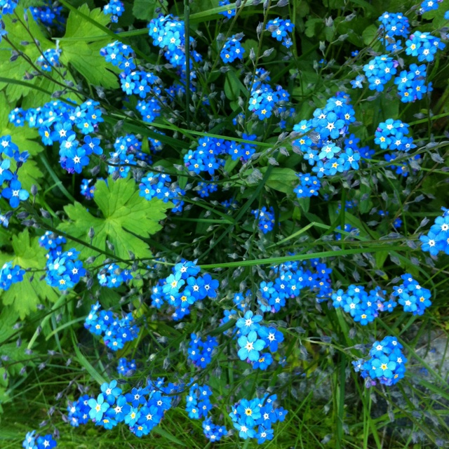 Forget-me-not. Myosotis stricta. So tiny flowers and so wonderfully cute.