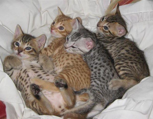 Somali cat breeder Ocicat Cat Breeders Australia Ocicat