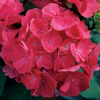 A dwarf Hydrangea with bright red blooms, Cityline Paris™ is a highly mildew-resistant German cultivar.
