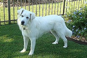 Thomas is a Pyr Pup rescue by Texas Great Pyrenees Rescue and is ready to be adopted. Check out those ears and read his story and other rescue stories, and learn how to adopt Pyrs and foster these Gentle Giant large breed, Large Guardian dogs (LGD). Adopt a Pyr today.