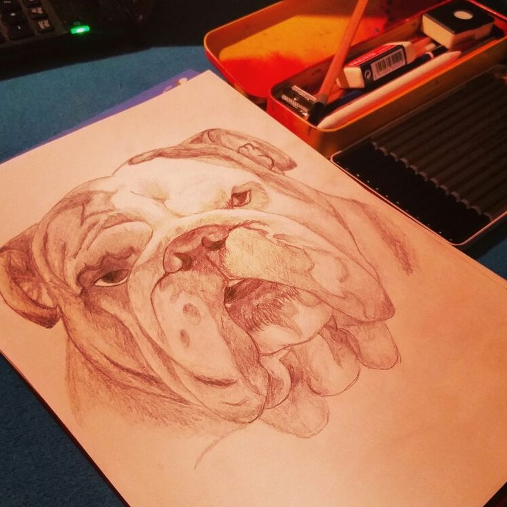 English bulldog Carlo