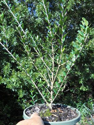 Best 25 arbequina olive tree ideas on pinterest tree for Olive arbequina care