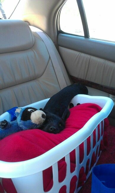 Homemade small dog car seat: 1 pillow; 1 blanket; a laundry basket and a leash. Petsmart charges upwards of $80 for a car seat. This one cost $12... he may not be happy, but he is safe