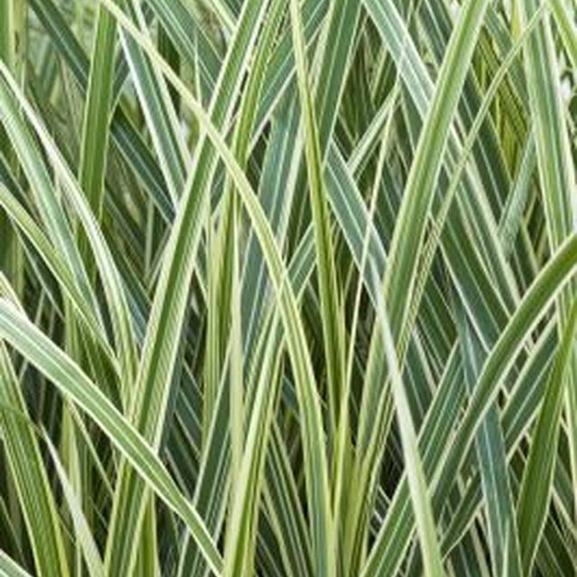 1000 images about grasses on pinterest ornamental for Ornamental oat grass varieties
