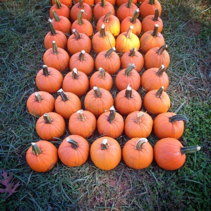 Harvesting Pumpkins... and a few other reminders! :)  http://pressgram.yodersfarm.com/2013/harvesting-pumpkins/