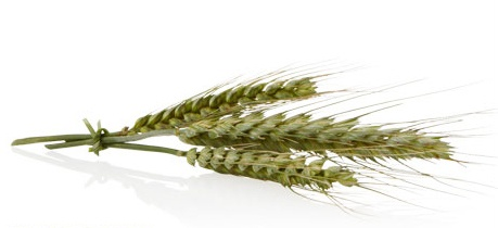 #WHEAT PROTEIN  Wheat protein is used to help protect hair from heat damage due to styling with blow dryers, irons, curling rods, and other styling tools.  The wheat protein blend is also used in #AVEDA's Be Curly Shampoo, Conditioner, & Style Prep.  It expands when hair is wet and retracts when hair is dry to enhance curl or wave.
