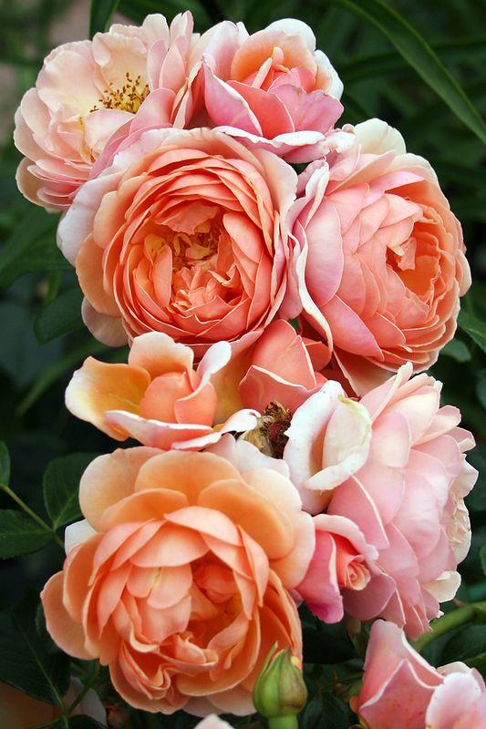 'Elizabeth Stuart'   Shrub Rose. Dominique Massad,  2003   © Oliver