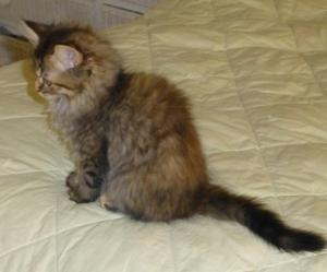 Persian cat in nj