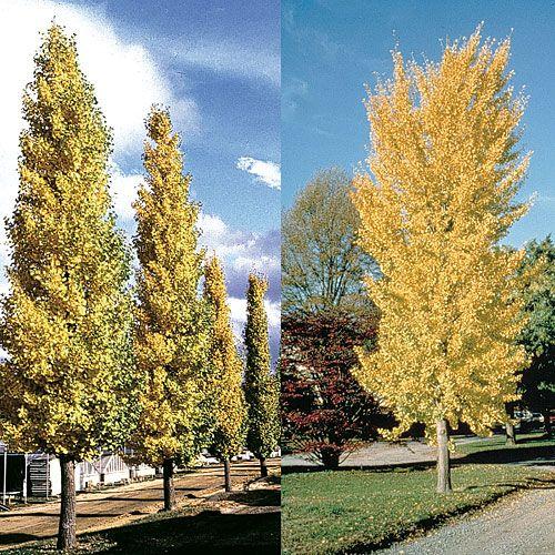 Ginko Biloba Princeton Sentry Tm The Ginko Is A Tree