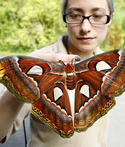 Butterfly keeper Heather Prince holds a newly emerged atlas moth. The moth has a wingspan of 30 centimeters. Atlas moths are the largest moth species in the world, but despite their grandeur, they live for only about one week.