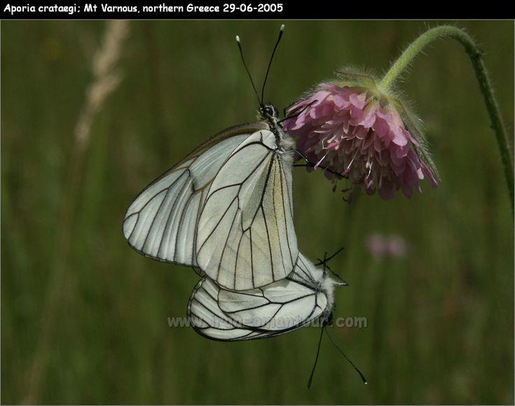 Aporia crataegi butterfly - Mt. Varnous - northern Greece