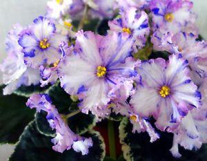 Le Nastja African Violet Plant Ukrainian Variety | eBay