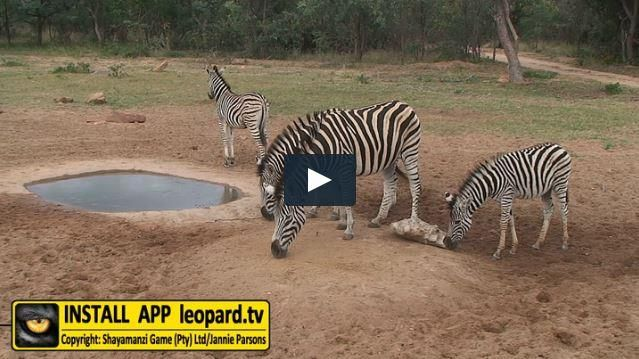 Zebra occurs in small breeding herds consisting of a stallion, a few mares and also their fouls. The stallion is at least four years old and stays with the breeding herd until it is 12 years old. The foals leave the family group when they are between one and four years old and either stay alone or join stallion herds. Here is a video of the Zebra at #Shayamanzi. #leopardtv #nature