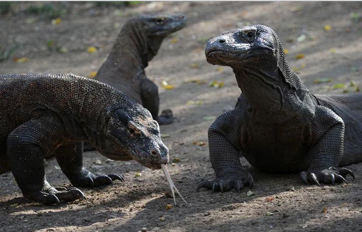 O dragão de Komodo (Varanus Komodoensis) é o maior lagarto carnívoro do mundo e pode alcançar três metros. Esta espécie sobrevivente da pré-história é capaz de matar um cervo com sua cauda e devorar uma cabra inteira.