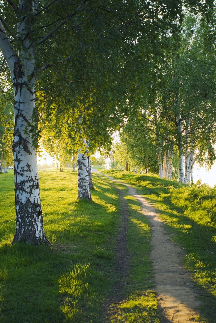 Path beside the birches in late afternoon (Finland) by Juho Kuva