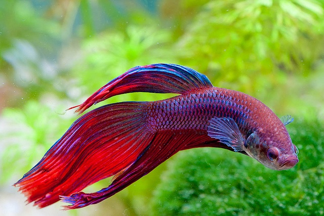 Red blue veil tail siamese fighting fish pinterest for Female betta fish names