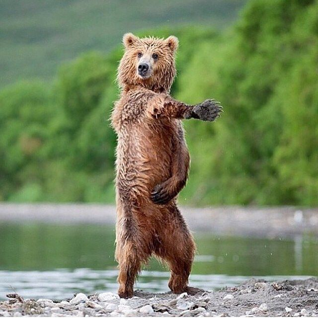 Ohhh Yeahhhh!! It's Friday...gonna get my groove on! 😜 www.acteavate.com.au #acteavate #tea #slimming #fitness #weightloss #wellness #detox #fit #fatburning #motivation #dancingbears