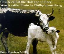 Pineywoods cattle : One of the oldest breeds of cattle in the USA that is now critically endangered and facing extinction. Genetically and culturally important, we cannot let these heritage breeds pass into extinction. Visit the ALBC to see how you can help.
