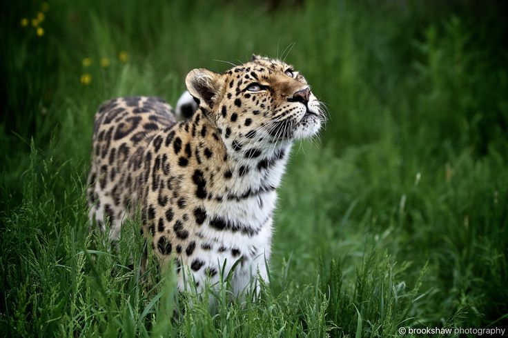 Amur Leopard - A stunning Amur Leopard named Xizi at WHF Big Cat Sanctuary.  Amur Leopards are my favourite big cat but sadly critically endangered with as few as 70 adults in the wild...the rarest big cat in the world... :-(